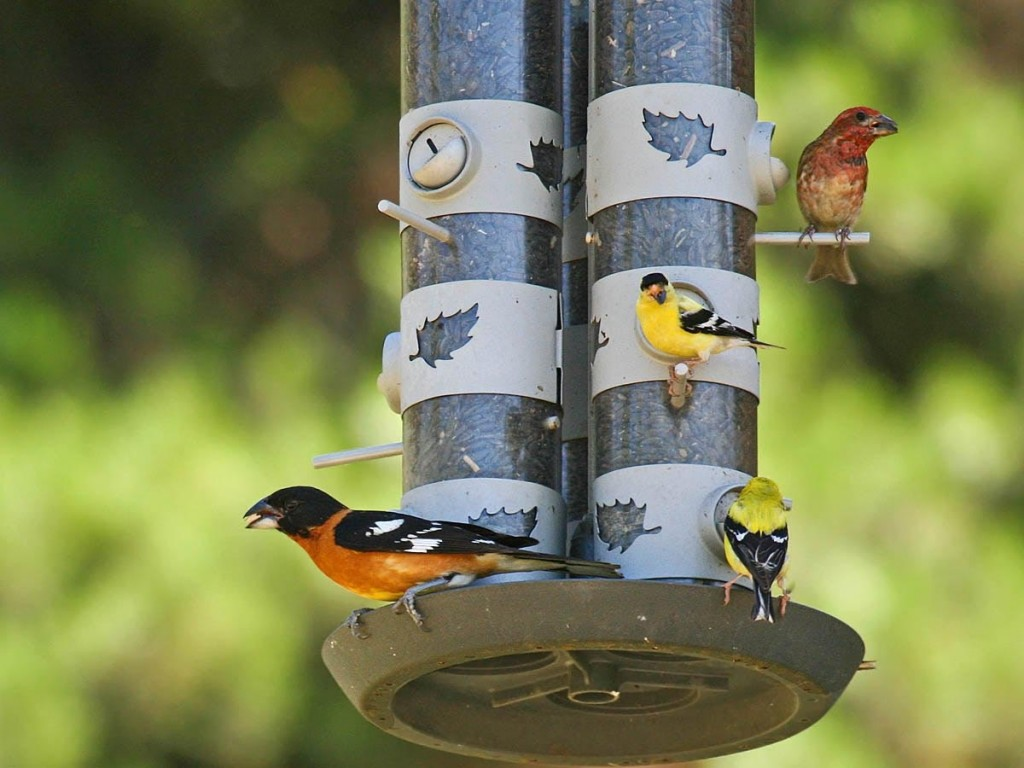 Attracting Finches to Bird Feeders