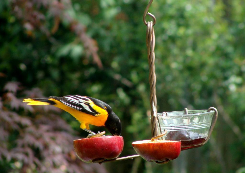 Baltimore Oriole Bird Feeders