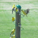 Bird Feeders for Yellow Finches