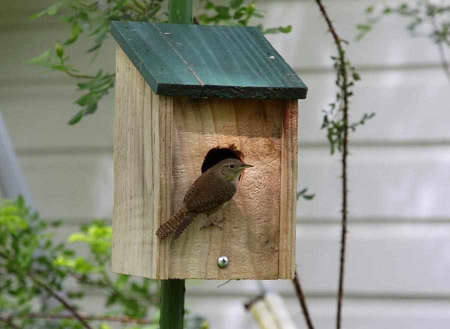Carolina Wren Bird House