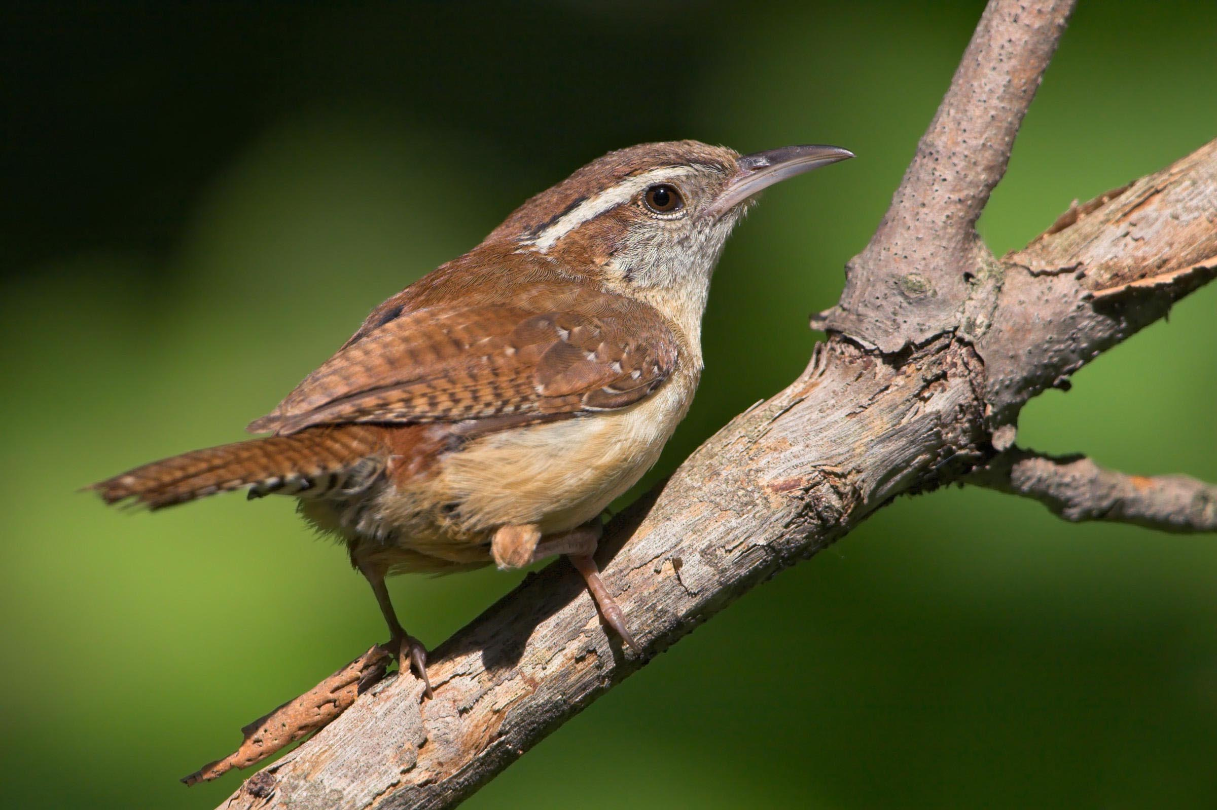 House Wren Bird Call