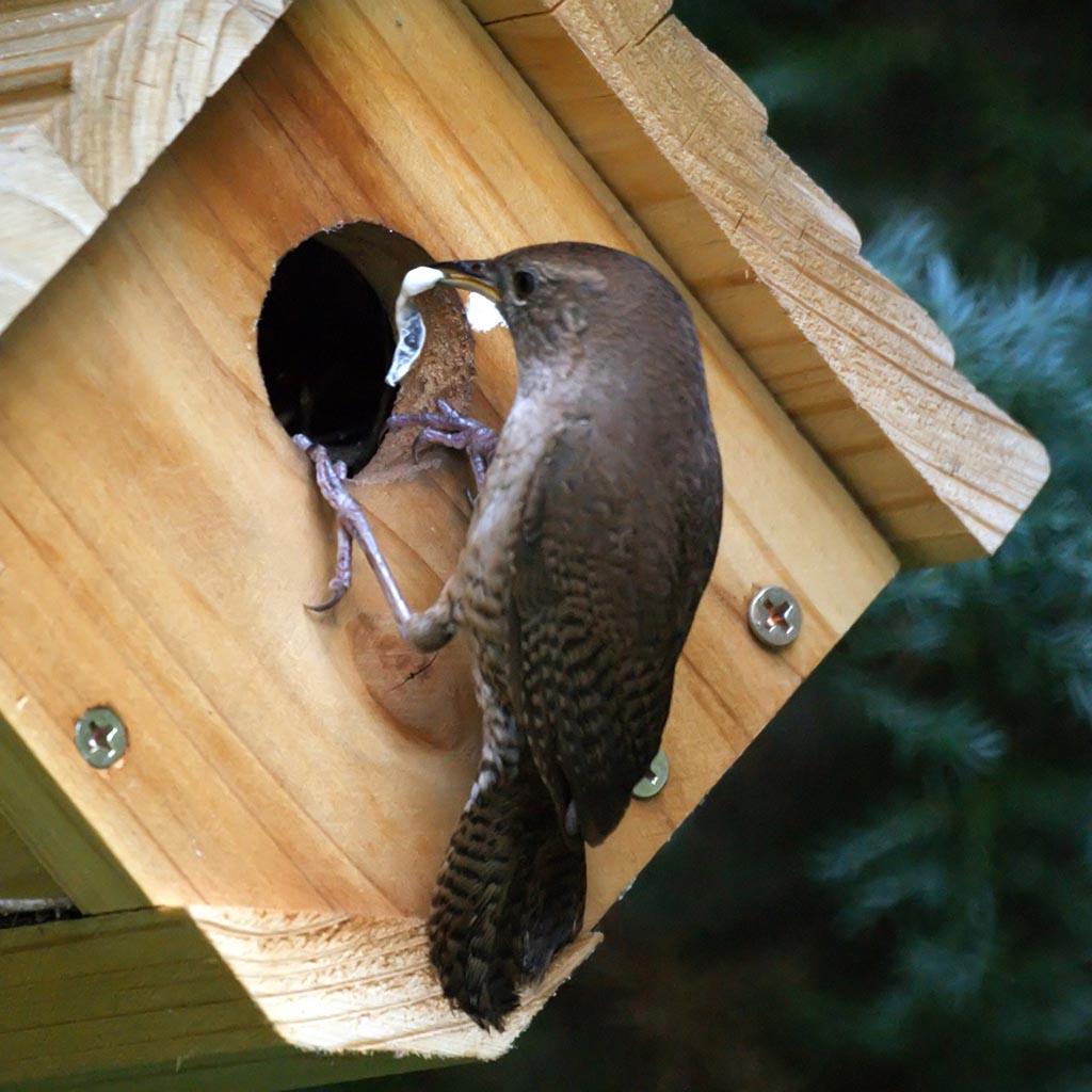 House Wren Bird Nest