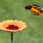 Oriole Bird Feeder Grape Jelly