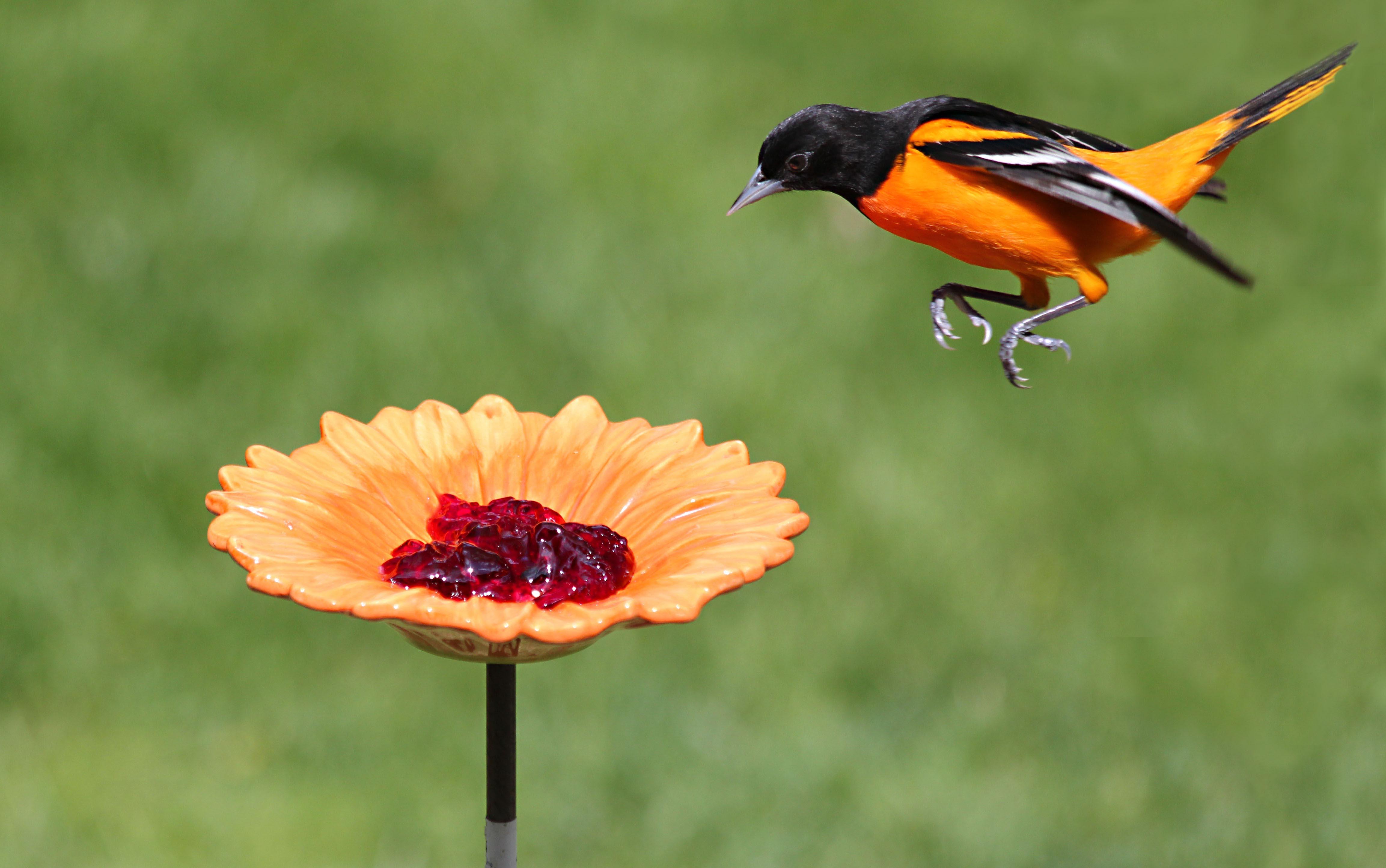 Oriole Bird Feeder Grape Jelly