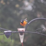 Oriole Bird Feeder Placement