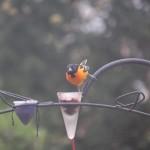 Oriole Bird Feeder Placement