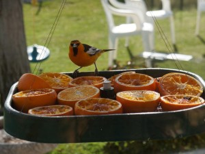 Where to Hang Oriole Bird Feeder