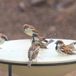 Wild Bird Water Feeder