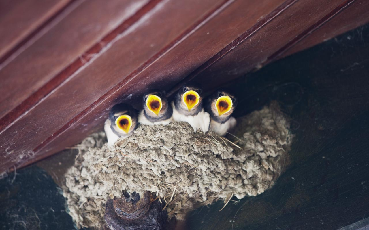 Birds That Build Nests on Houses