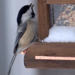 Black Capped Chickadee Bird Houses