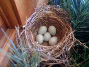 House Finch Bird Eggs