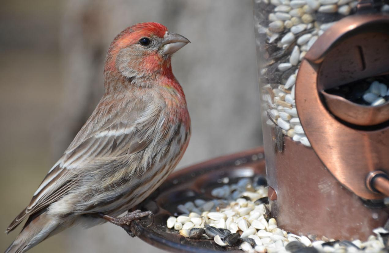 House Finch Bird Feeder