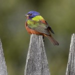Painted Bunting Bird House